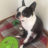 Lost dog - Boston Terrier
